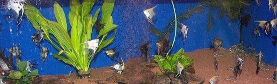 hornbach in m nchen fr ttmaning neonfische welse und guppys rund 250 arten im angebot zoo. Black Bedroom Furniture Sets. Home Design Ideas
